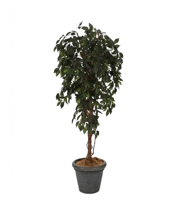 Ficus 180 cm hoog